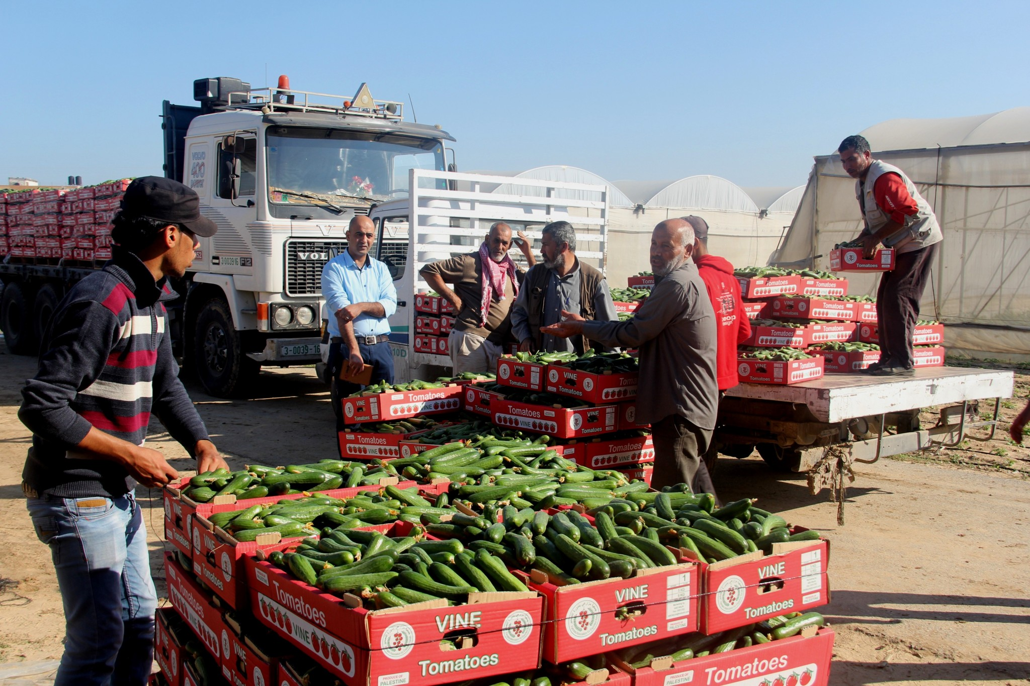 Cucambers from Gaza on the way to market in Israel. Since 2015, Israel allows limited sales of vegetables from Gaza. Photo by Gisha