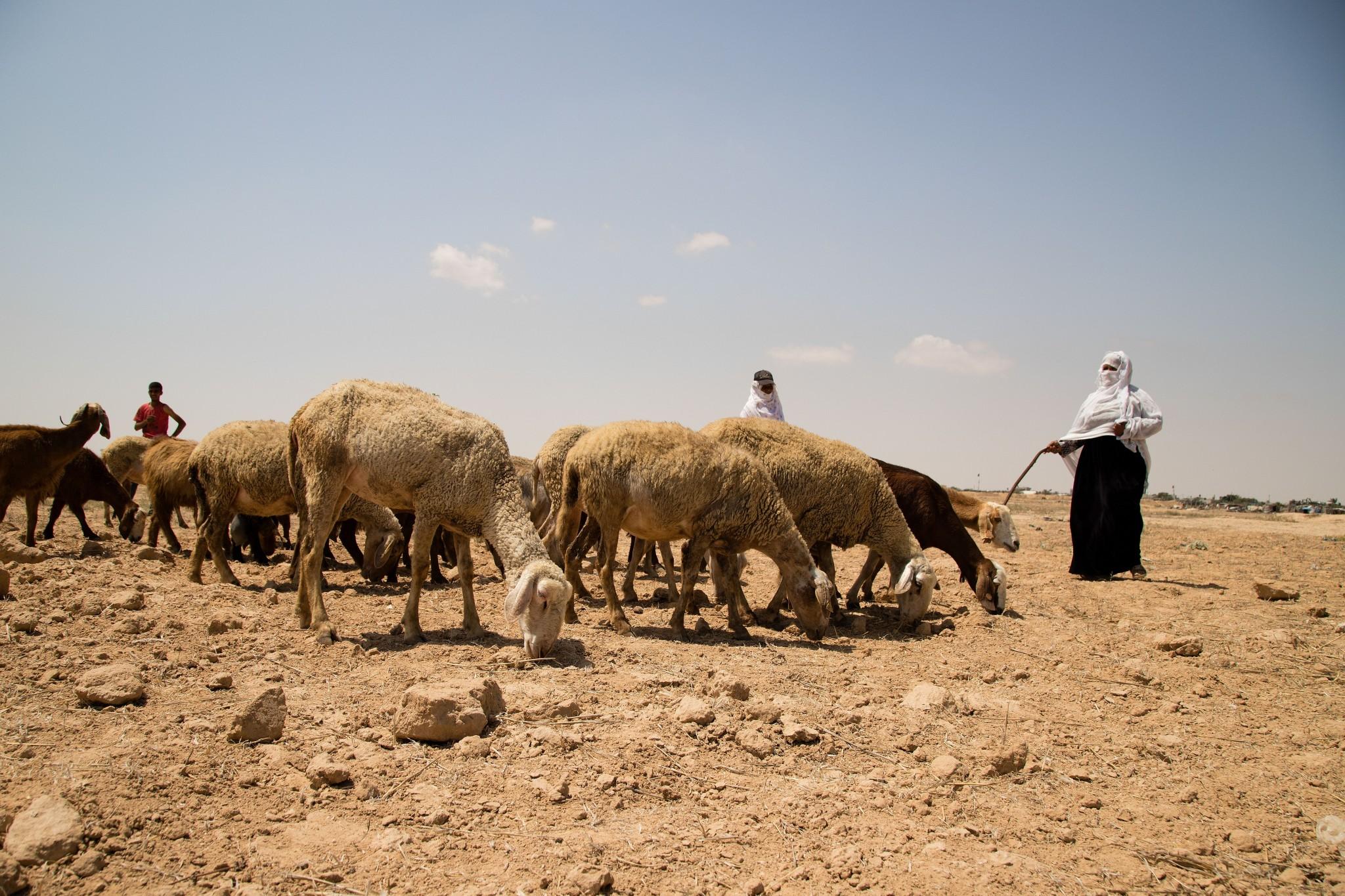 רועות צאן באזור החיץ, יוני 2018. צילום: גישה
